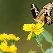 Swallowtail butterfly on yellow wildflowers in South Texas.