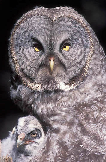 Great Gray Owl, (Strix nebulosa)  Adult on nest with chicks. Montana.