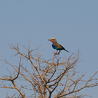 A Lilac-breasted Roller perched atop branches.