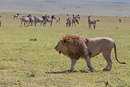 Lions in East African habitat.