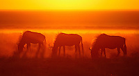 Another example of the infinite power of light. The rising sun turns an already beautiful scene of red wildebeest grazing in Namibia's Etosha National Park into the purely magical!