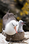 Black-browed Albatross (Diomedea melanophris) with chick, North Nature Reserve, New Island, Falkland Islands