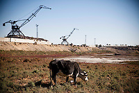 A cow eats grass on the bottom of dried Aral sea as abandoned cranes to pick shipment up from ships remain in Aralsk, Kazakhstan.
