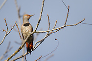 A female norther flicker (red-shafted race) perches on a narrow tree branch