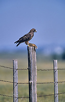 Ferruginous Hawk (Buteo regalis) perched on fence post with Columbian ground Squirrel
