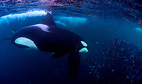 The killer whale or orca (Orcinus orca) is a toothed whale belonging to the oceanic dolphin family, of which it is the largest member in Norway, Tromso<br /> Working in group, the orcas charge into the school of herring and stun them with the whip of their tails. The herring warn of each other by farting - hence the bubbles. The orca feast on the stun herring one at a time.