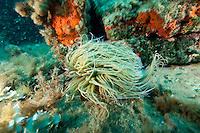 Sea anemone (Anemonia sulcata) Larvotto Marine Reserve, Monaco, Mediterranean Sea<br /> Mission: Larvotto marine Reserve
