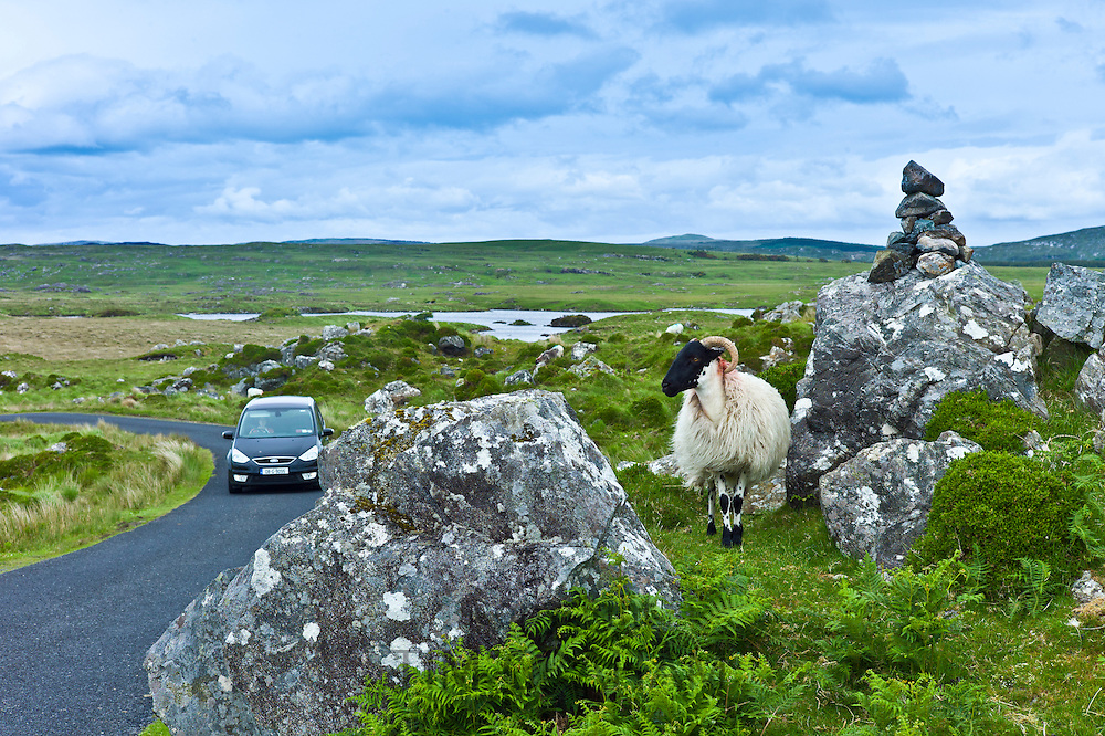 Mountain sheep ram watching traffic on the Old Bog Road near Roundstone, Connemara, County Galway