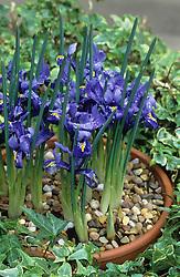 Iris reticulata in a pot