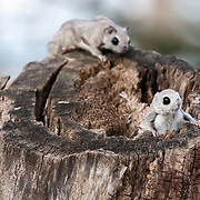 A female Japanese dwarf flying squirrel (Pteromys volans orii) in oestrus often attracts the attention of more than one male. When that happens, males chase one another, leap from and glide among trees, and sometimes engage in physical skirmishes. The male in the background of this image is stalking the male in the foreground in an attempted sneak-attack during one such contest for an eligible female.