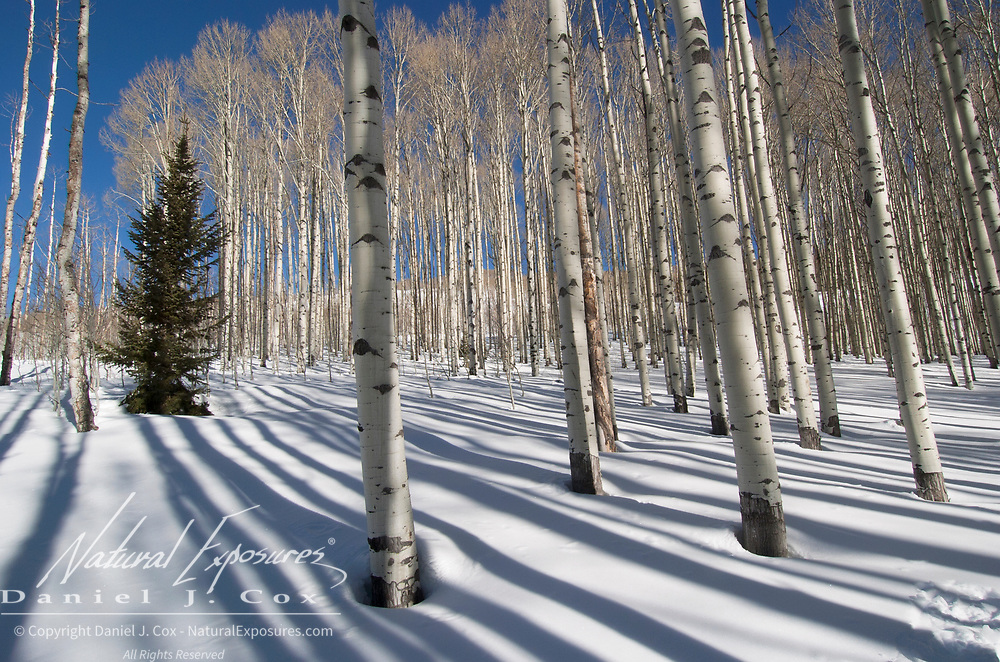Aspen forest during winter near Aspen, Colorado.