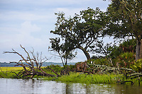 Dead trees and great Egret sit at the edge of a coastal salt marsh.