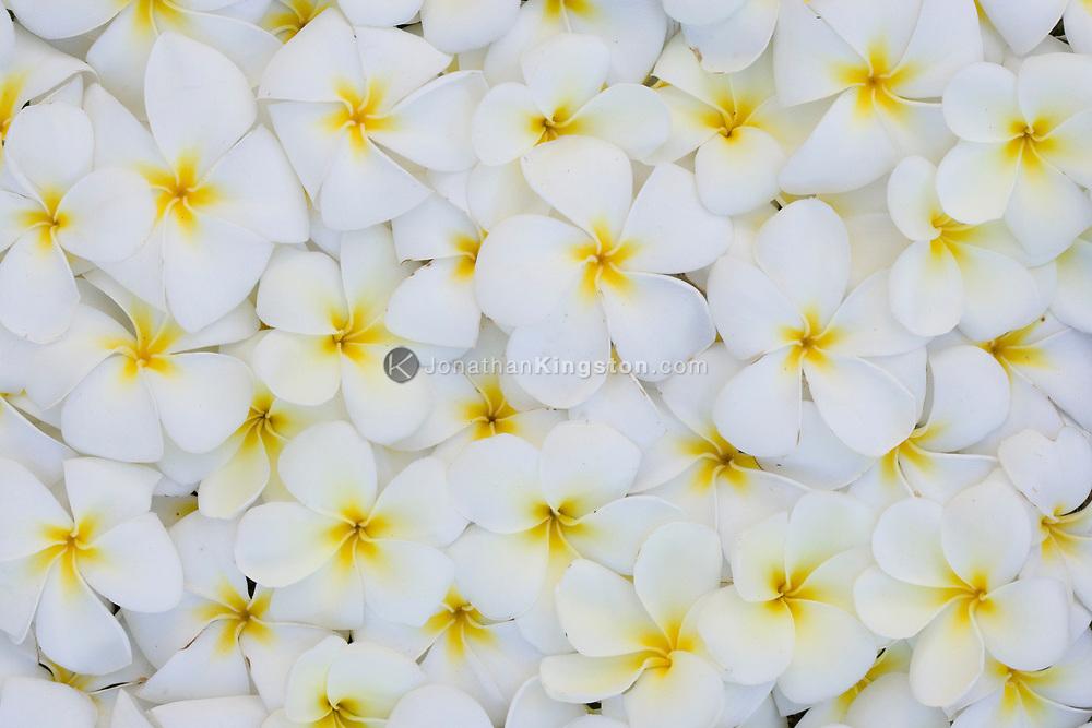 MOLOKAI, HI - Arrangement of Plumeria (common name Frangipani) flowers on Molokai, Hawaii.