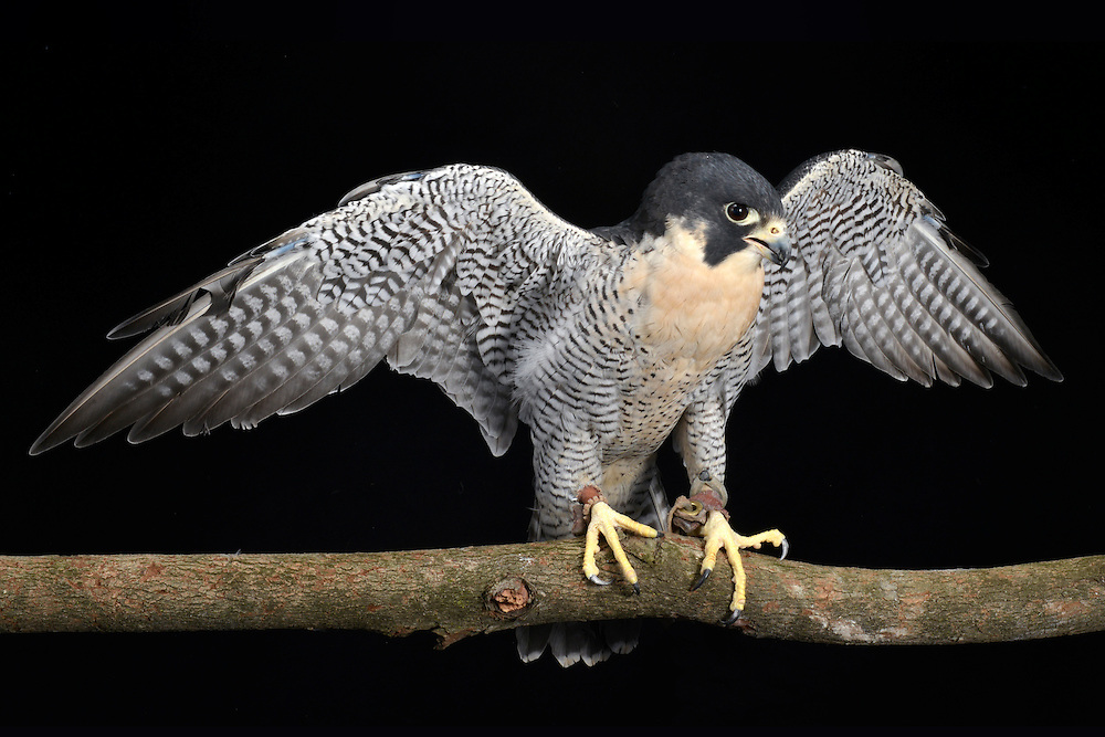 Peregrine Falcon (Falco peregrinus), captive