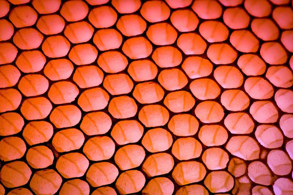 European honey bee (Apis mellifera), Captive, Honeycomb credit: Palo Alto JMZ/M. D. Kern