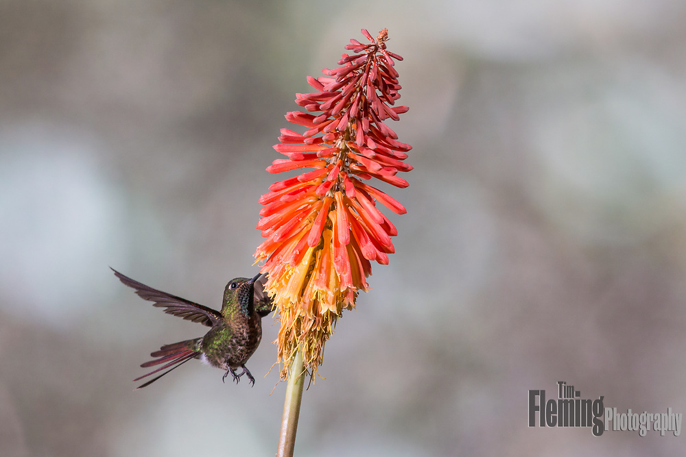 Tyrian Metaltail feeding on nectar at the San Jorge Eco-Lodge, near Quito, Ecuador