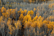 Aspens bare and with foliage are viewed along Kebler Pass near Crested Butte, Colorado.