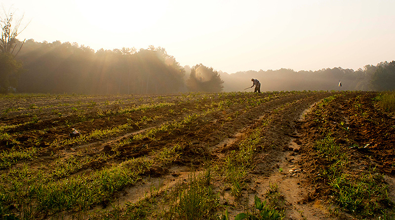 An elderly farmer works with a traditional hoe in a vegetable field in the early morning in Durham County, NC.
