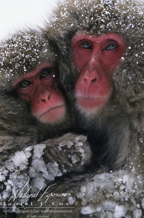 Snow Monkey or Japanese Red-faced Macaque (Macaca fuscata) mother and baby. Japan