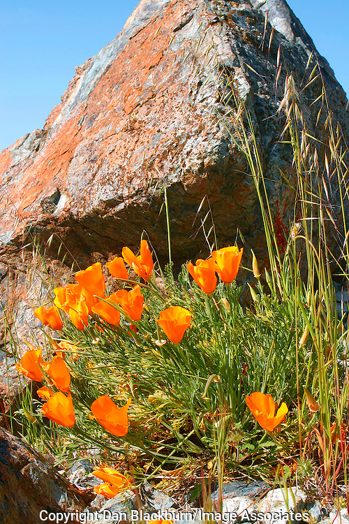 California poppies blooming beneath rocky outcrops on Figueroa Mountain in California.