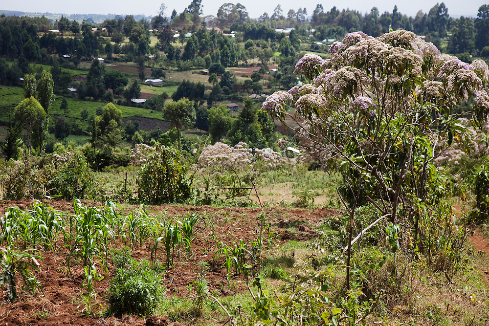 A view from the back fields of Kibet Serem's small tea plantation near Kericho, Kenya. (Kibet Serem is featured in the book What I Eat: Around the World in 80 Diets.)  He is 25 years of age.