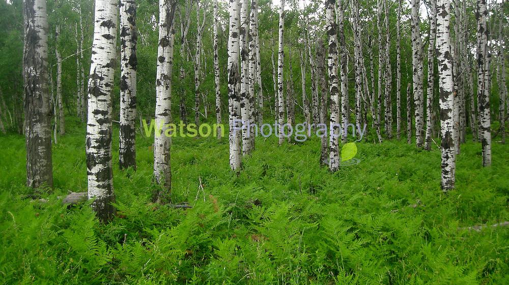Aspen Woodlands in Summer_2016_Heidi Watson