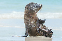 Galapagos Sea Lion, Zalophus wollebacki pup on Gardner Bay beach on San Cristobal Island, Galapagos National Park, Ecuador.