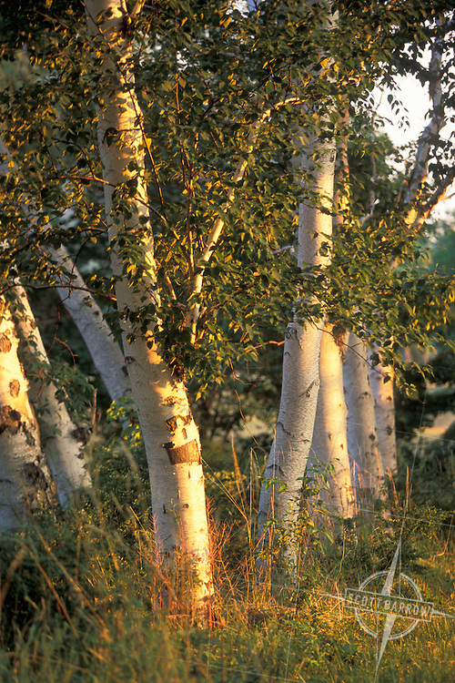 Birch trees at sunset.