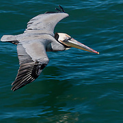 California brown pelicans (Pelecanus thagus californicus), Ocean Beach, San Diego, California.  Photo by William Drumm.