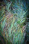 Wild grasses along the Chama River near Los Ojos, New Mexico.
