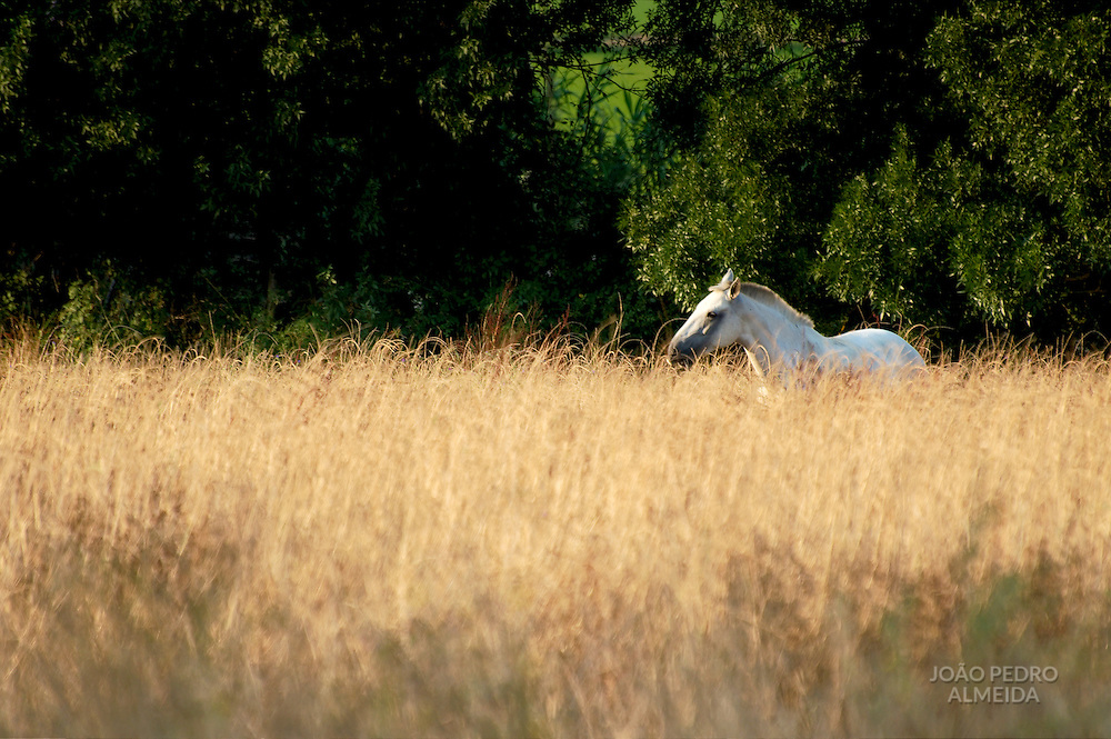 Horse at pasture at Ribatejo region, Portugal