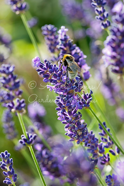 Lavender (Lavandula) with Bumble bee.