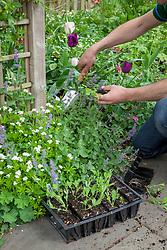 Planting out sweet peas to grow up a trellis arch. Lathyrus odoratus.