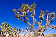 Joshua trees along the trail to the Wall Street Mill, Joshua Tree National Park, California