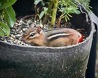 Eastern Chipmunk. Image taken with a Nikon N1V3 camera and 70-300 mm VR lens