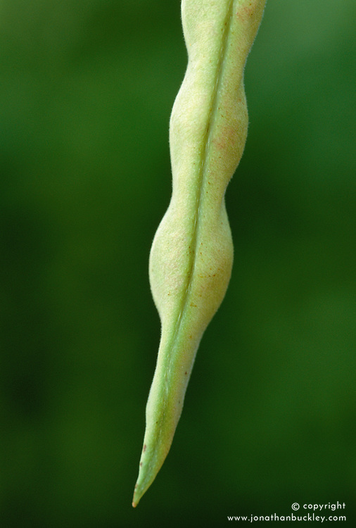 French bean 'Blue Lake Climbing'