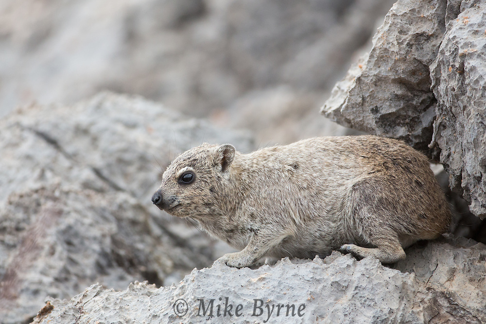 Rock hyrax at Dolomite Camp, Etosha, Namibia