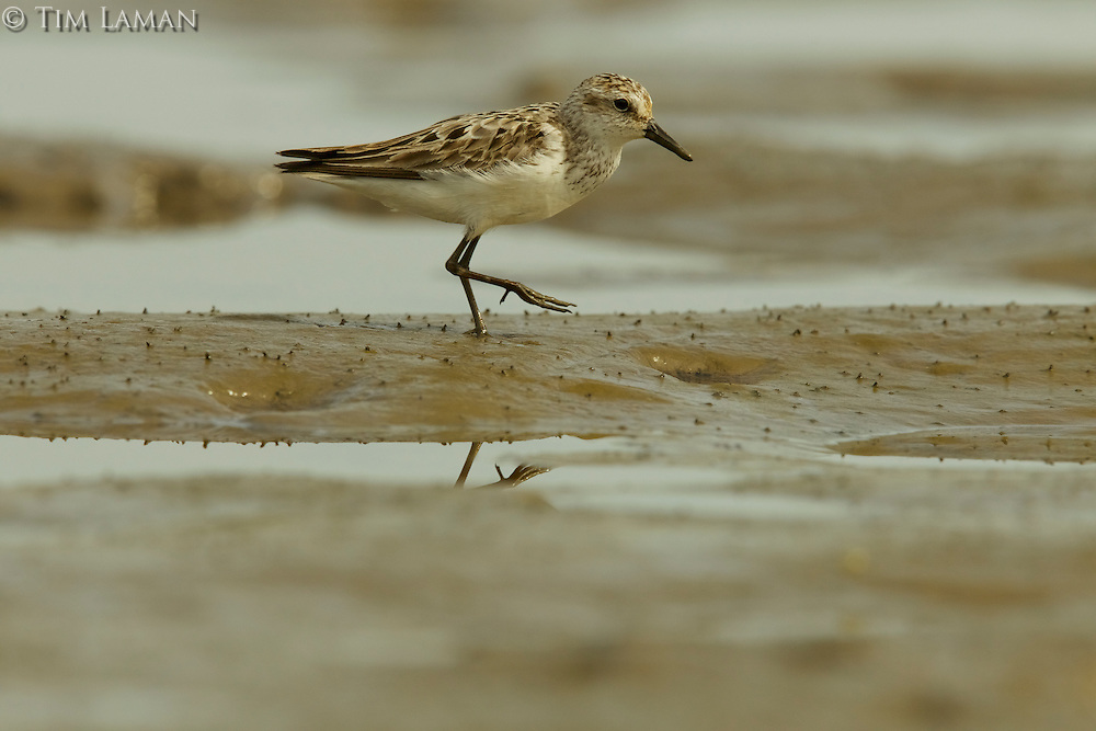 A Sanderling (Calidris alba) foraging at low tide in the mudflats of the Orinoco River Delta, Venezuela.