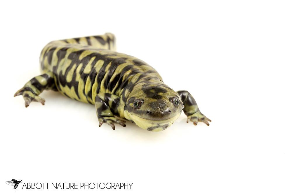 tiger salamander (Ambystoma tigrinum)<br /> Captive Individual<br /> 18-June-2015<br /> J.C. Abbott &amp; K.K. Abbott