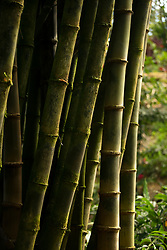 Bamboo Alley at Garden of Eden Arboretum in Kailua, Hi, Saturday, Jan. 20, 2018. (Photo by D. Ross Cameron)