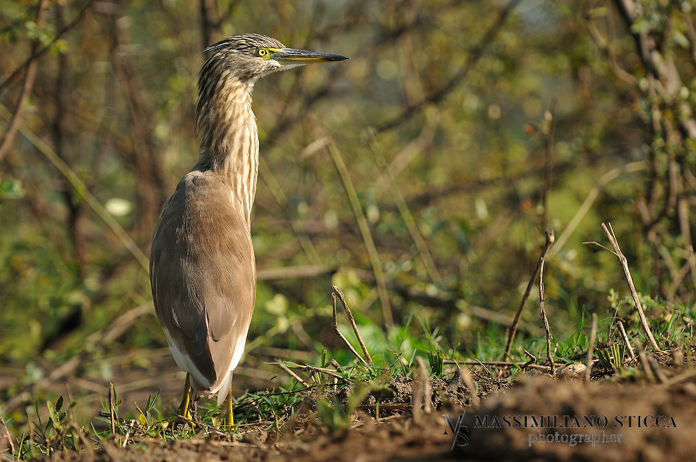The Indian Pond Heron or Paddybird (Ardeola grayii) is a small heron. It is of Old World origins, breeding in southern Iran and east to India, Burma, Bangladesh and Sri Lanka. They are widespread and common but can be easily missed when they stalk prey at the edge of small water-bodies or even when they roost close to human habitations. They are however distinctive when they take off with bright white wings flashing in contrast to the cryptic streaked olive and brown colours of the body. Their camouflage is so excellent that they will close approach before taking to flight, a behaviour which has resulted in folk names and beliefs that the birds are short-sighted or blind