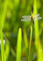 4 Spotted Darter Dragonfly, Libellula quadrimaculata resting on iris leaf. Beacon Fell, Lancashire