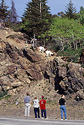 Alaska. Turnagain Arm. Tourists stop to look at Dall Sheep along the Seward Highway.