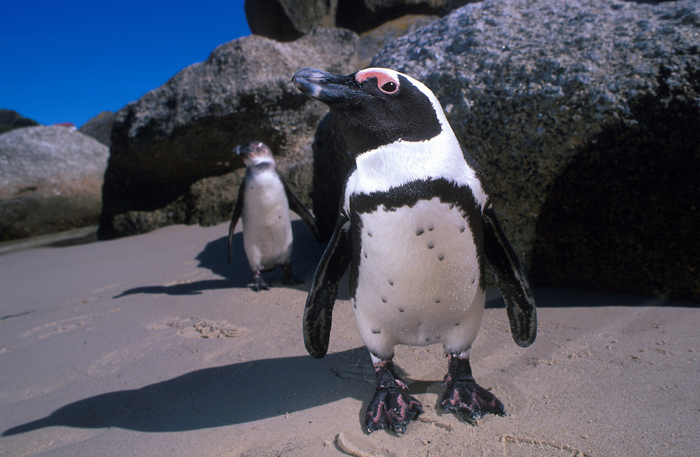 Jackass Penguin.South Africa