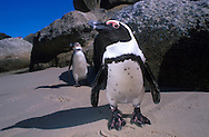 Jackass Penguin.South Africa