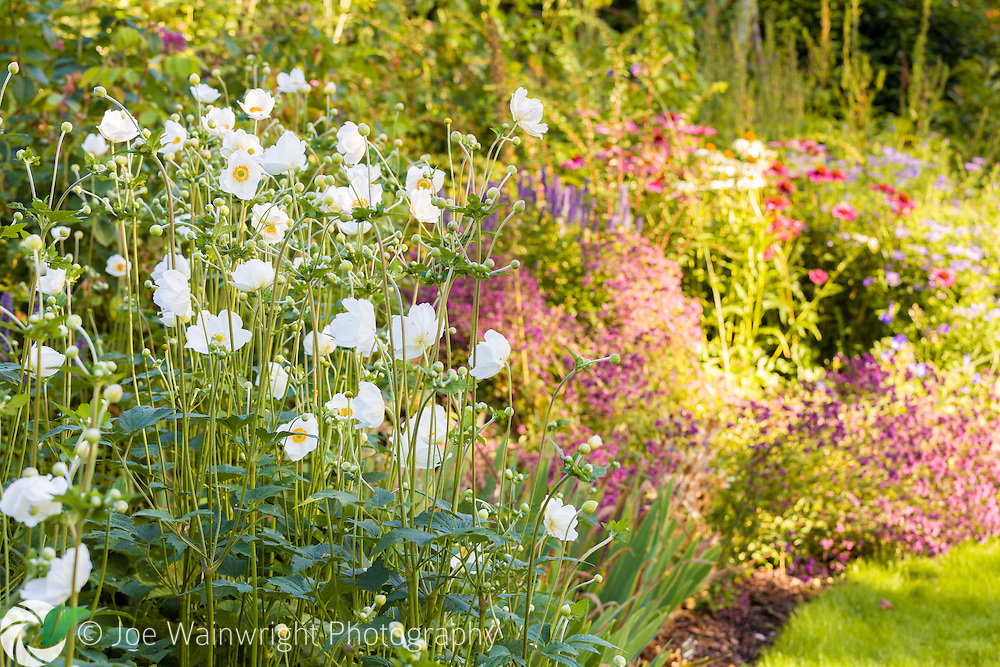 Cool white Japanese Anemones contrast with the warm colours of late summer in Dorothy Clive Gardens, Staffordshire