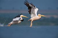 White pelicans (Pelecanus onocrotalus), Lake Belau, Moldova