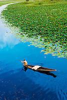 Paddling through floating gardens (rad) with lotus flowers, Dal Lake, Srinagar, Kashmir, Jammu and Kashmir State, India.