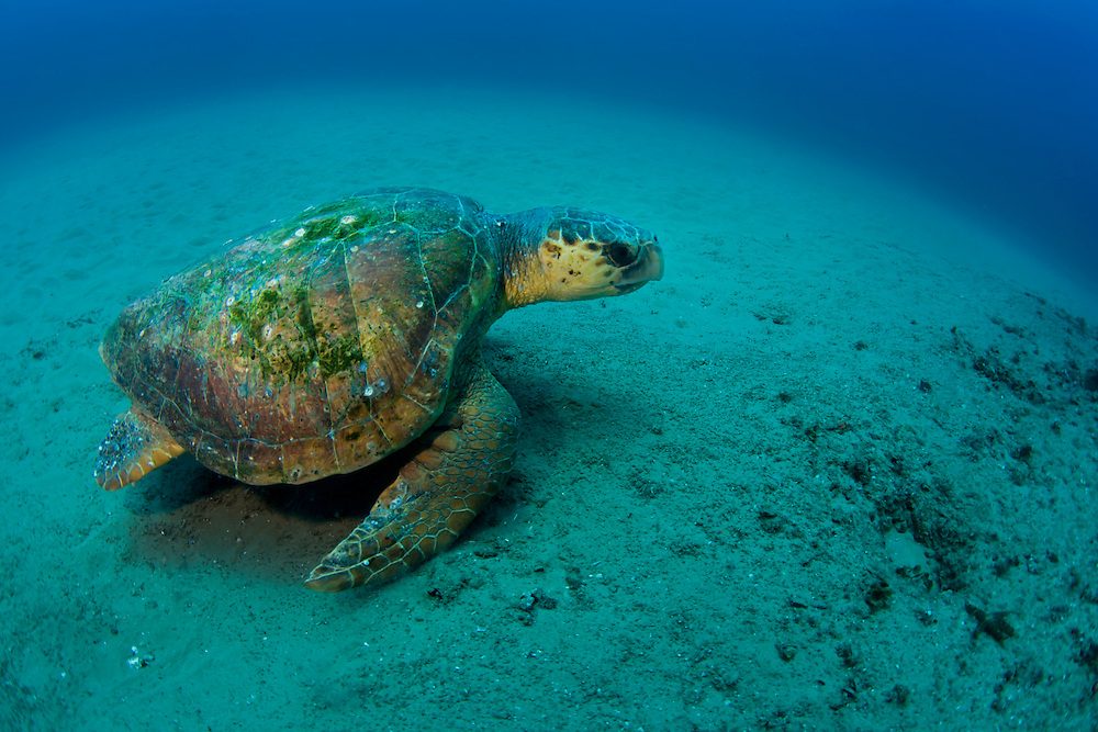 Underwater image of a green turtle