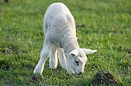 lente voorjaar springtime lammetjes lammetje schapen